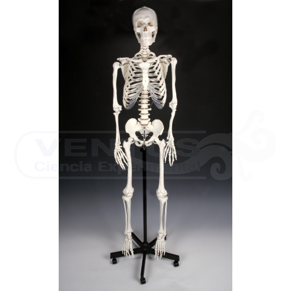 Esqueleto humano tamaño natural