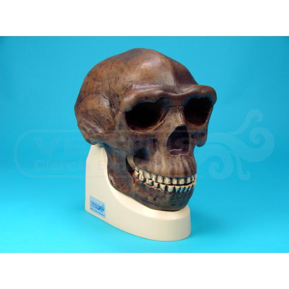 Cráneo Homo Erectus Pekinensis
