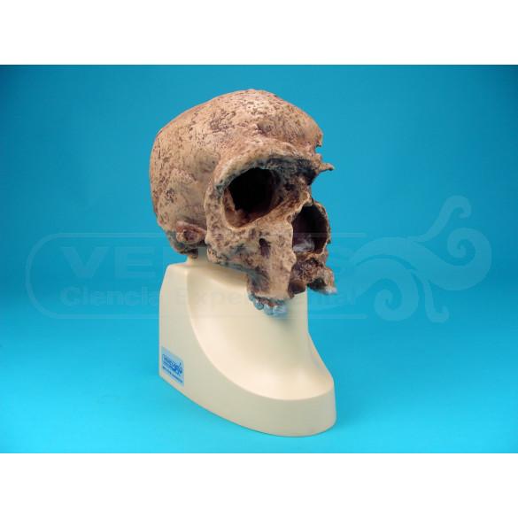 Cráneo Homo Sapiens Steinheimensis