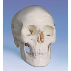 Cráneo humano 3 partes