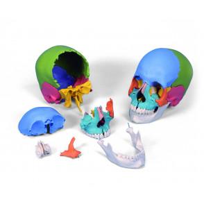 Cráneo humano 22 partes coloreado