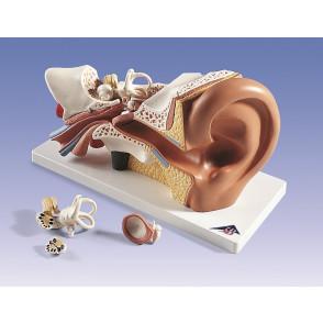 Modelo de oído, 4 partes, 3x