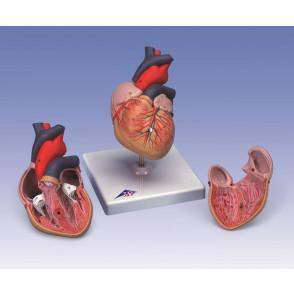 Modelo de corazón, 2 partes, 1x