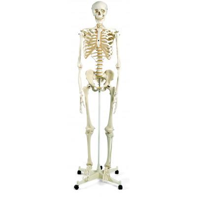 Esqueleto humano tamaño natural 3B