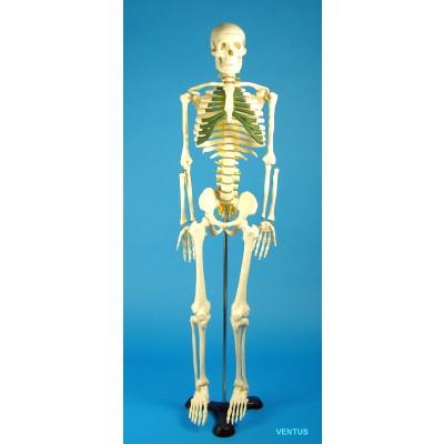 Esqueleto humano escala 1/2