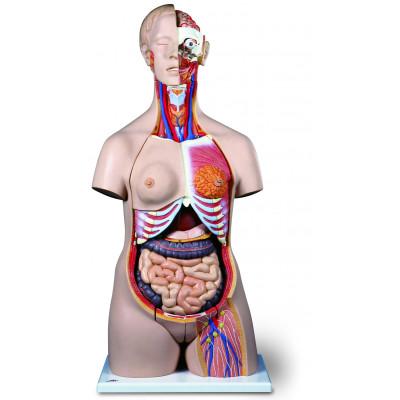 Torso humano bisexo, 24 partes
