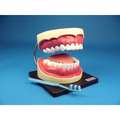 Modelo para higiene buco-dental