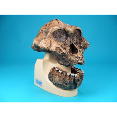 Cráneo Australopitecos Boisei