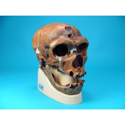 Cráneo Homo Sapiens Neandertalensis