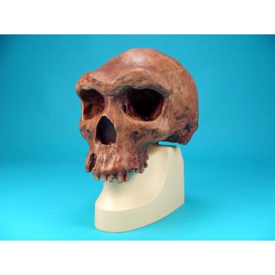 Cráneo Homo Erectus Rhodesiensis