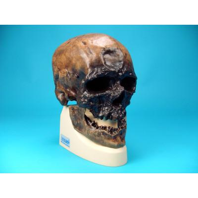 Cráneo Homo Sapiens Sapiens